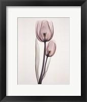 Framed Tulipa Two