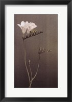 Framed Freesia I