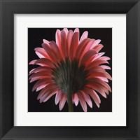 Pink Gerbera II Framed Print