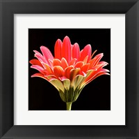 Pink Gerbera III Framed Print