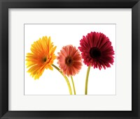 Three Gerbers Framed Print