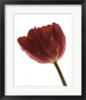 Framed Red Tulip