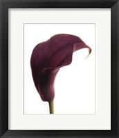 Framed Purple Calla Lily