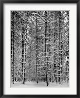Framed Pine Forest in Snow (embossed)