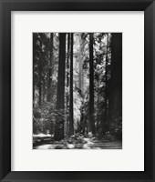 Framed Redwoods, Founders Grove