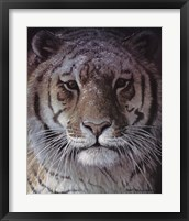 Framed Tiger Portrait