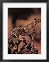 Framed African Cheetah