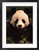 Framed Giant Panda Feeding on Bamboo