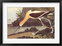 Framed American Avocet