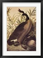 Framed Canada Goose