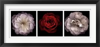 Rose Gallery II Framed Print