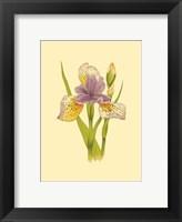 Framed Iris Bloom VII