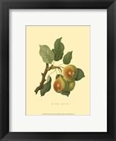 Teinton Squash Pear Framed Print