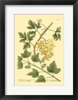 Framed Grapes II