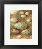 Framed Bird Egg Collection II