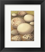 Framed Bird Egg Collection III