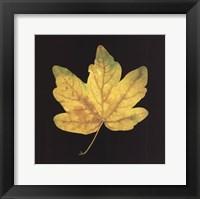 Framed Yellow Maple
