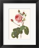 Framed Rosa Centrifolia Bullata