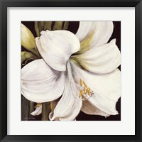 Framed White Amaryllis