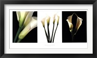 Framed White Callas