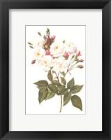 Rosa Noisettiana Framed Print