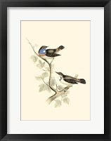 Framed Gould's Blue-Throated Warbler