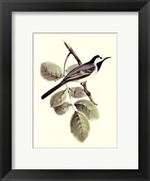Framed Gould's White Wagtail