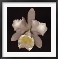 Framed Cattleya