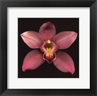Cymbidium Framed Print