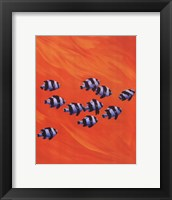10 Black-Tailed Humbugs Framed Print