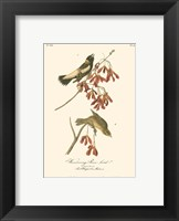 Wandering Rice Bird Framed Print