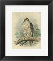 Framed Iceland Falcon