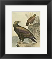 Framed Golden Eagle