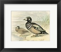 Framed Harlequin Duck