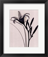 Framed Day Lily