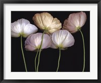 Framed Cream Poppies
