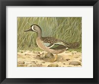 Framed Blue-wing Teal