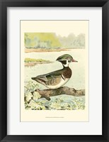 Framed Woodduck Male