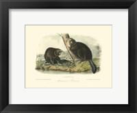 Framed American Beaver