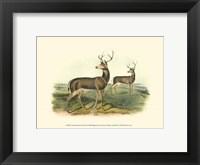 Framed Columbian Black-tailed Deer