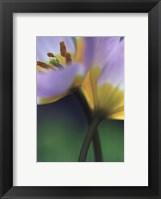 Framed Tulipe 7