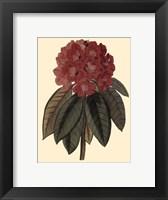 Framed Rhododendron Rojo