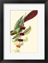 Framed Cuvier Exotic Birds IV