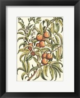 Framed Peach Tree Branch