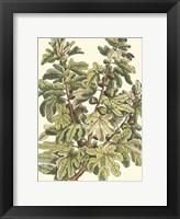 Framed Fig Tree Branch