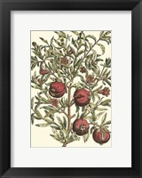 Framed Pomegranate Tree Branch