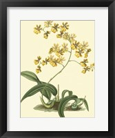 Framed Antique Orchid Study I