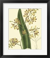 Framed Antique Orchid Study II