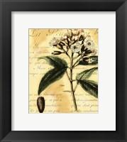 Framed Clove