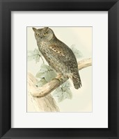 Framed Scops-eared Owl